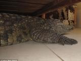 A dormit cu un crocodil de 140 de kg sub pat