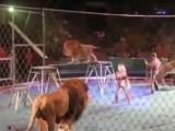 Groază în arenă. Leii au atacat dresorii VIDEO