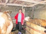 O femeie din Suceava şi-a vândut religia pentru o vacă bălţată
