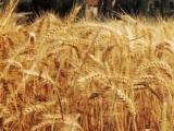 Producția de cereale în 2013