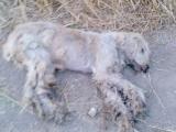 ȘOCANT. Două vulpi decapitate şi trei câini cu ţepuşe înfipte în ei