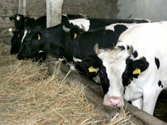 tun-de-70-de-milioane-de-euro-subventii-pentru-vaci-fantoma-42561-1.jpg